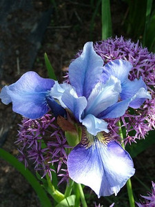 Iris sibirica 'Peg Edwards'