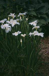 Iris ensata 'Sano-no-Yuki'