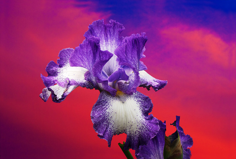 BEARDED IRIS AGAINST THE ALPEN SKY