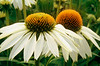 DUAL CONE FLOWERS 2_filtered 1A copy
