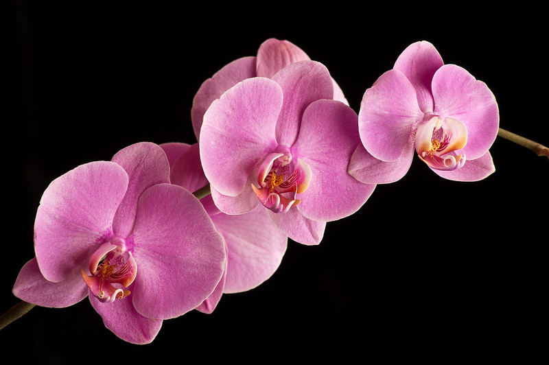 ORCHID, IMAGE 732
