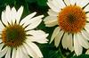 CONE FLOWER PAIR