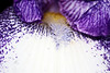 BEARDED IRIS 2340_filtered