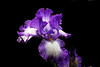 BEARDED IRIS 2377_filtered