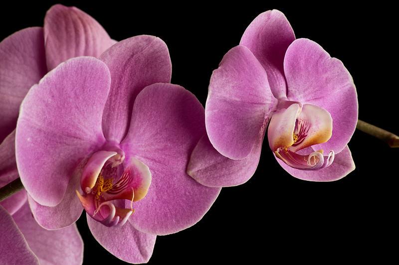 ORCHID, IMAGE 736