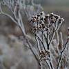 Ice Flower (8)