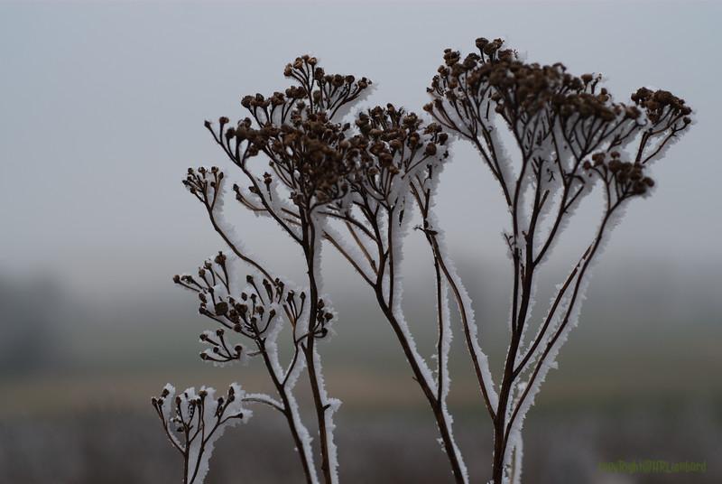 Ice Flower (1)