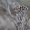 Ice Flower (11)