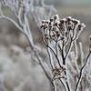 Ice Flower (10)