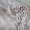 Ice Flower (13)