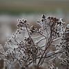 Ice Flower (14)