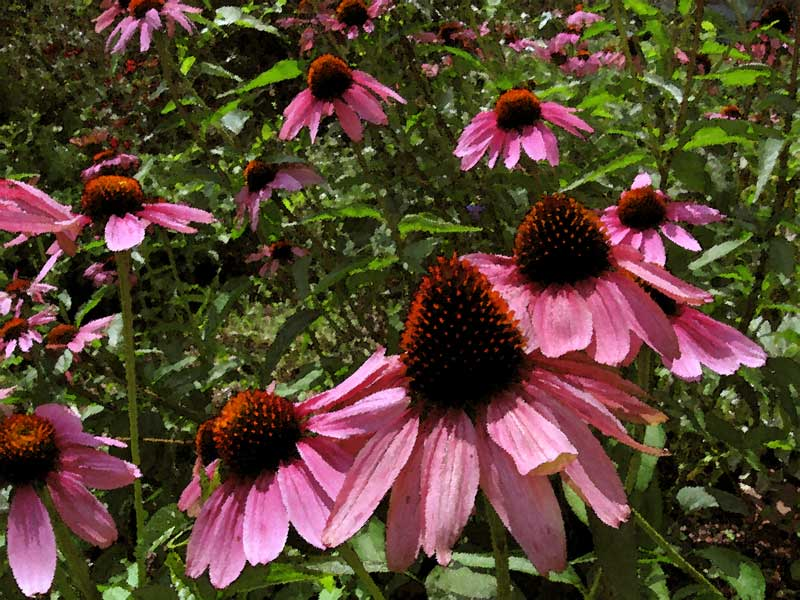 Cone flowers on a hot and sunny morning.<br /> These flowers are looking a bit ragged after days and days of rain.