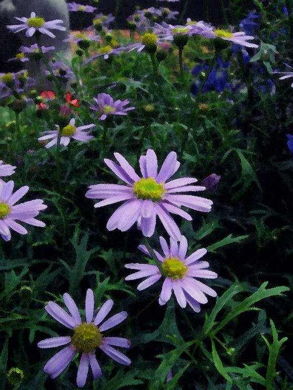 Swan River Daisies and dark blue Lobelia.