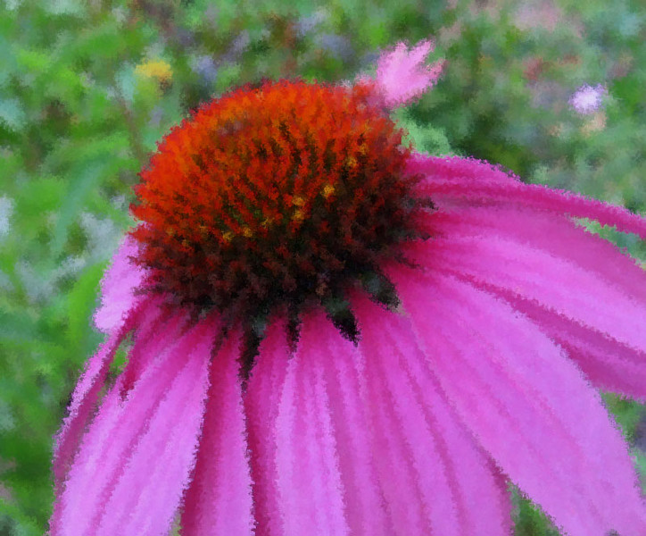 Purple cone flower.