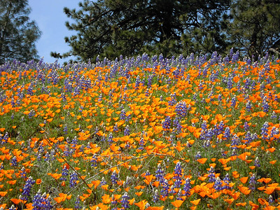 Spectacular array of lupine and poppies on Figeuroa Mt.
