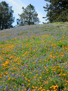 Poppies & Lupine on Figeuroa Mountain, Santa Barbara country, CA