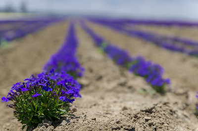 Flower field, Lompoc, CA
