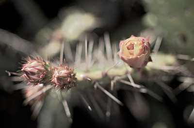 Emerging cactus blooms