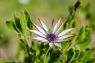 Bue-eyed daisy