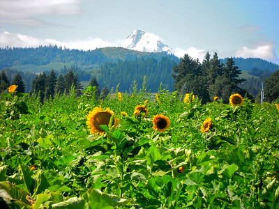 A field of sunflowers below the majestic Mt. Hood