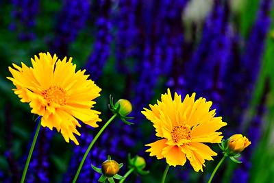 Indiana Flowers  -  2014