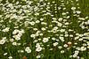 Ox-Eye (Common) Daisies and Orange Hawkweed, St. Louis County, Minnesota
