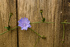 Chicory and Old Wood, Vernon County, Wisconsin