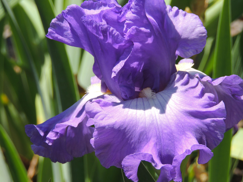 """Bell Bottom Blues"" Tall bearded  Iris"