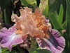 """Flying Circus"" Intermediate bearded Iris"