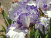 Standard Dwarf Bearded Iris