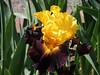 """Explicit"" Tall bearded  Iris"