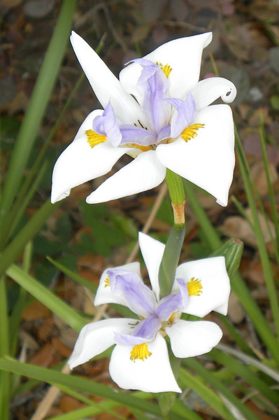 "Iris; binomial name-Dietes grandiflora; species ""D. grandiflora""; family-Iridaceae; native to South Africa"