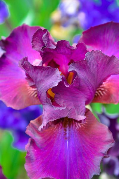 Iris Farm