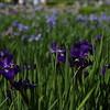 Jardin des Iris Chateau de Vuillerens