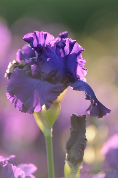 IRIS_Flower_vuillerens_01062012_0065