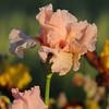 IRIS_Flower_vuillerens_01062012_0224