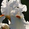 IRIS_Flower_vuillerens_01062012_0083