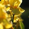 IRIS_Flower_vuillerens_01062012_0163