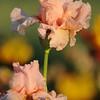 IRIS_Flower_vuillerens_01062012_0230