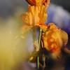 IRIS_Flower_vuillerens_01062012_0194
