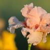 IRIS_Flower_vuillerens_01062012_0246