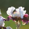 IRIS_Flower_vuillerens_01062012_0147