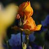 IRIS_Flower_vuillerens_01062012_0185