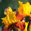 IRIS_Flower_vuillerens_01062012_0238