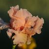 IRIS_Flower_vuillerens_01062012_0250