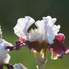 IRIS_Flower_vuillerens_01062012_0145