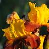 IRIS_Flower_vuillerens_01062012_0239