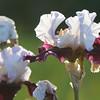 IRIS_Flower_vuillerens_01062012_0144