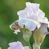 IRIS_Flower_vuillerens_01062012_0057