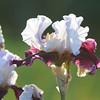 IRIS_Flower_vuillerens_01062012_0143